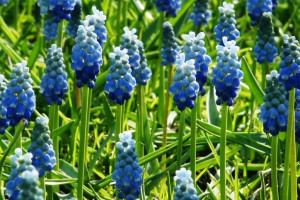 Muscari Lady Blue - BIO