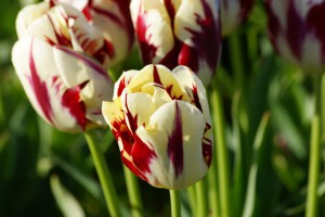 Tulipa Grand Perfection - BIO