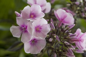 Phlox Bright Eyes - BIO