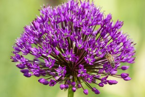 Allium Purple Sensation - BIO