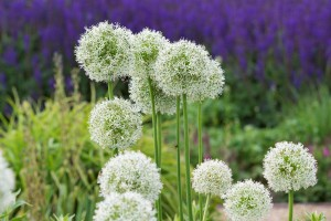 Allium Mount Everest - BIO