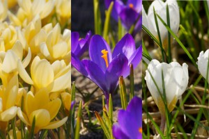Crocus species Mix - BIO