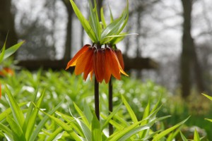 Fritillaria imp. William...