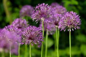 Allium Purple Rain - BIO