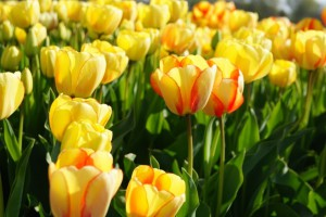 Tulipa Beauty of Spring - TR