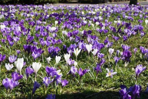 Crocus Mix mauves-blanches - BIO